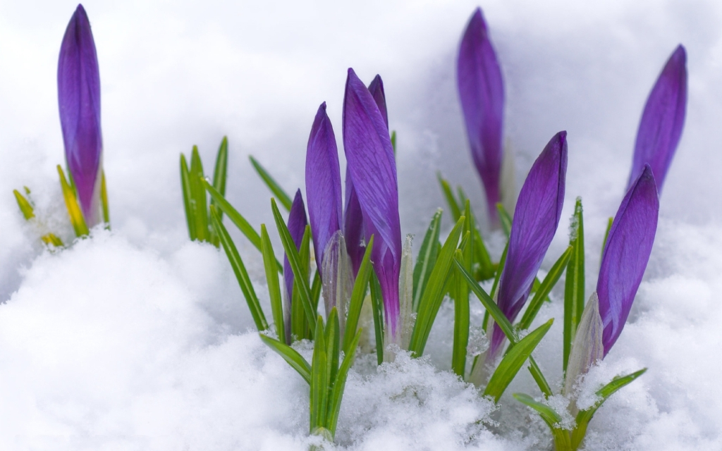 http://www.sadowniczy.pl/data/include/cms/Artukul-marzec/crocuses_flowers_snow_leaves_spring_22981_1920x1200.jpg