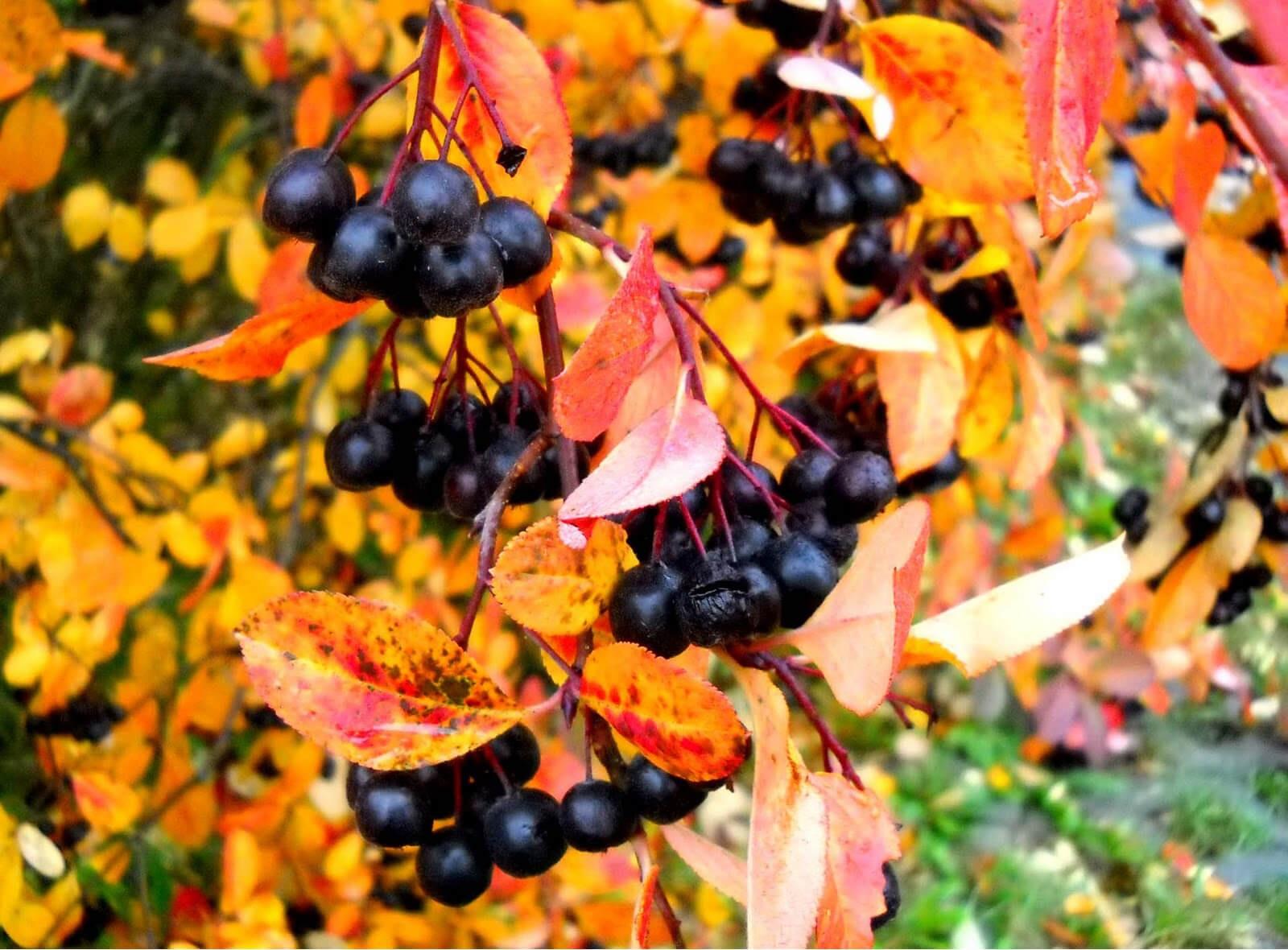 Aronia jesienią