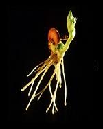 Nasiona bobu