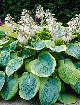 Funkia Hosta Frances Williams zielono-seledynowa