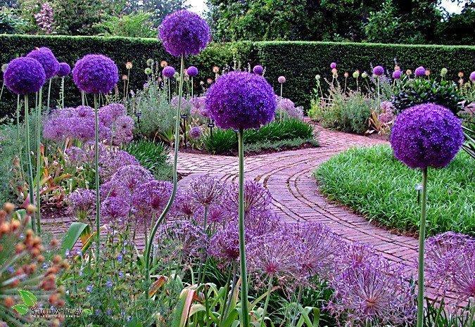 Czosnek ozdobny lucy ball cebulki kwiat w cebulki - Gartendekoration modern ...