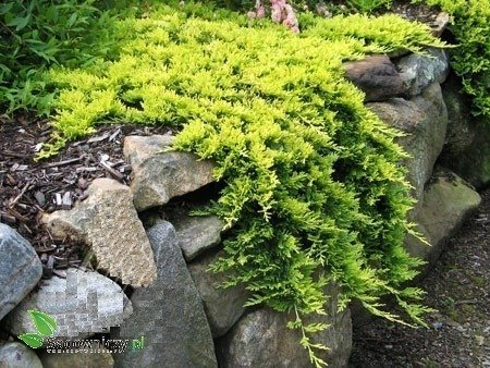 Jałowiec Płożący Golden Carpet Złoty Dywan Krzewy