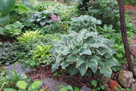 Funkia Hosta Revolution