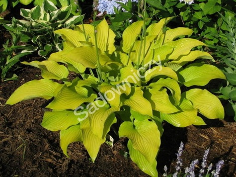 Funkia Hosta Sun Power