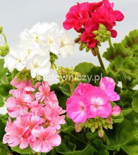 Pelargonia rabatowa mix 10szt