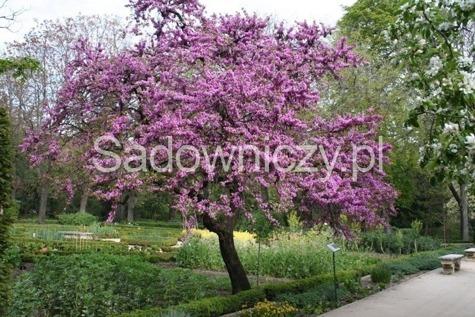 Judaszowiec wschodni mikoryza balot drzewa li ciaste for Arboles florales para jardin