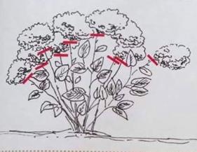 cięcie hortensji ogrodowej