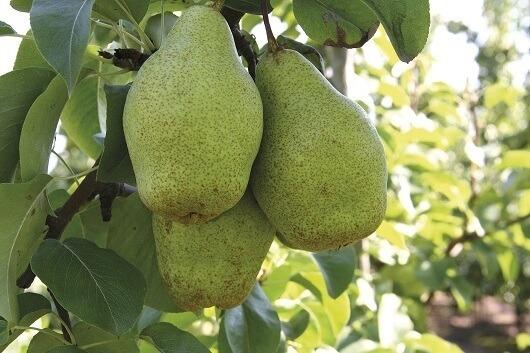 grusza xenia - owoce