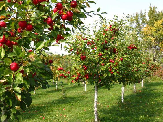 Drzewa jabłoni