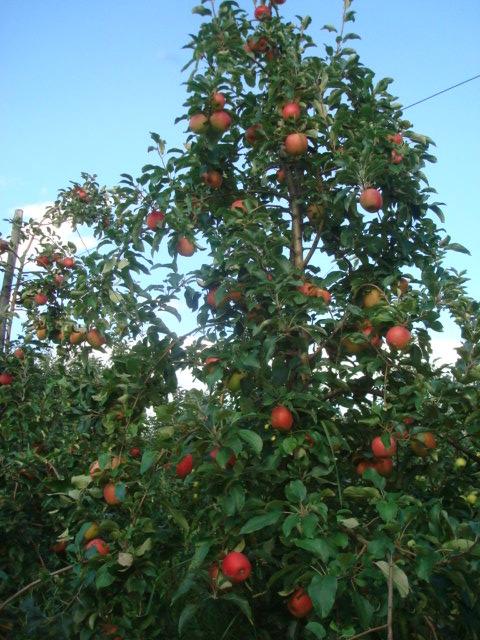 jabłoń arszam