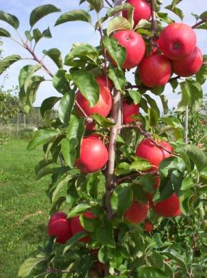 jabłoń rubinstar