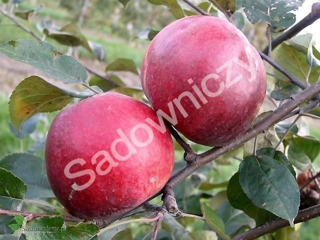 Jabłoń Malinówka Oberlandzka