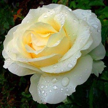 Róża wielkokwiatowa Chopin