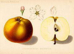 Jabłko Reneta Landsberska