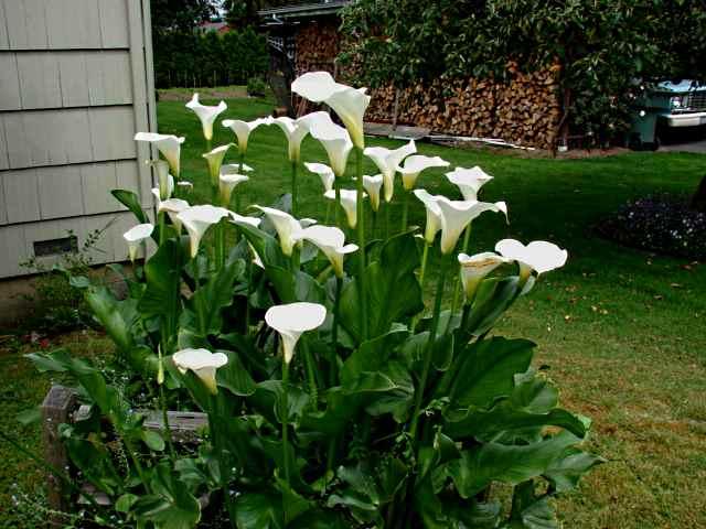 Kalie To Piękne I Oryginalne Kwiaty Koniecznie Musisz Spróbować