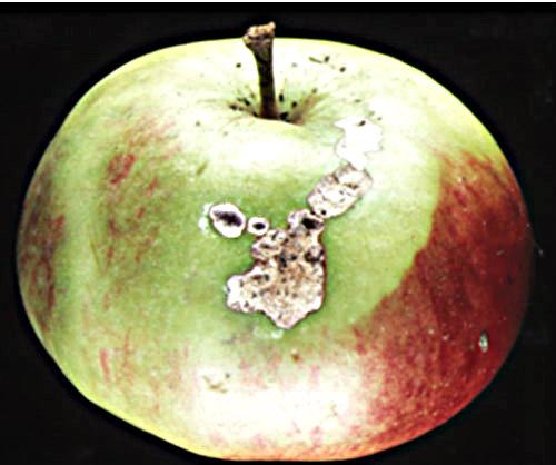 fruit damage