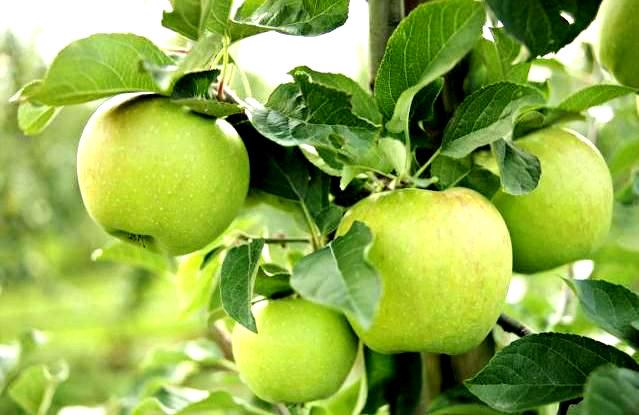 Jabłoń Mutsu - uprawa i pielęgnacja