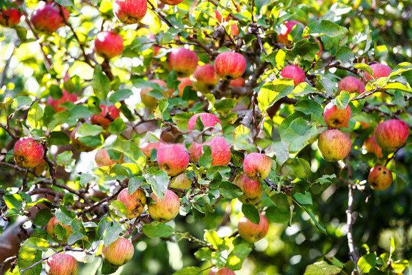Jabłoń parchoodporna deserowa Piros