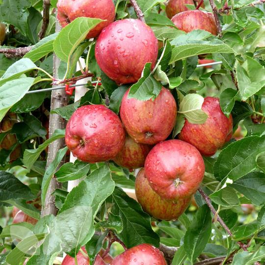 Jabłoń deserowa Gala
