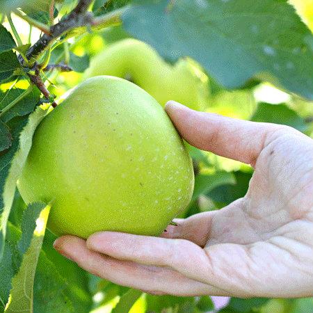 Jabłoń Mutsu -zielone jabłuszko