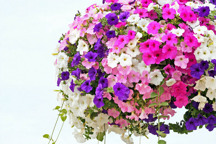 Petunia - różnobarwne odmiany