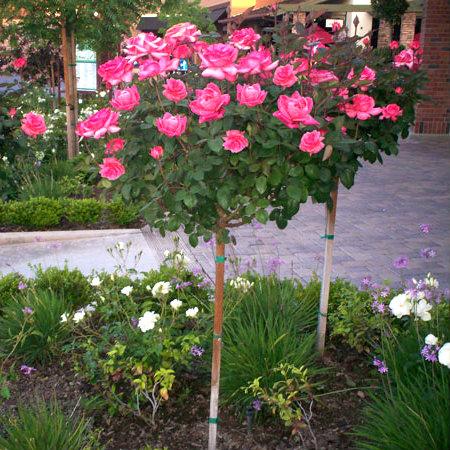 Róża sztamowa - wymagania i pielęgnacja