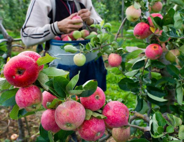 Jabłoń Piros deserowa i parchoodporna