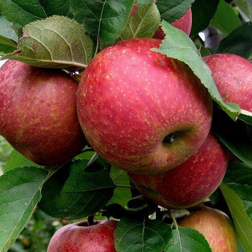 Późna odmiana jabłoni - Red Boskoop