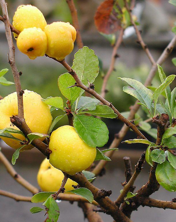 Pigwowiec japoński - owoce na krzewie