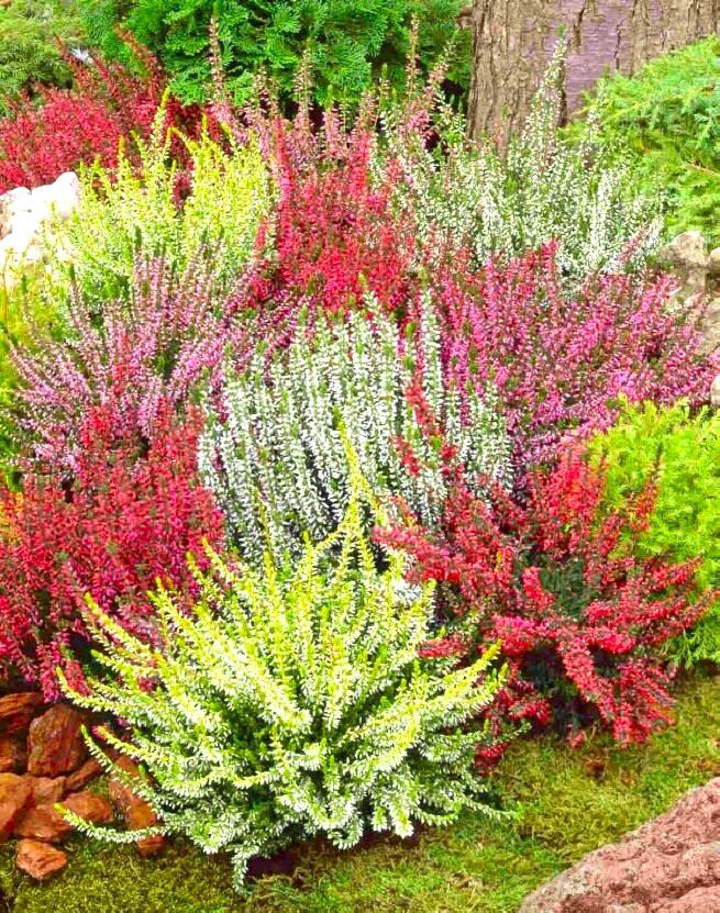 Kolorowe wrzosowisko w ogrodzie