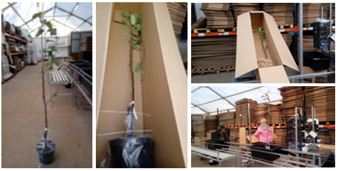 proces pakowania drzewek owocowych