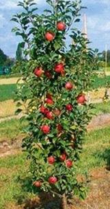 Drzewa owocowe kolumnowa forma