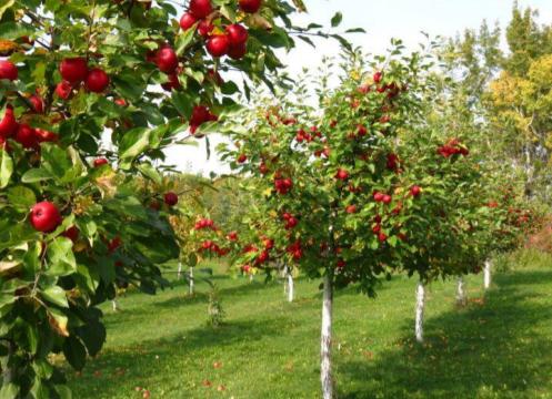 Jabłonie karłowe