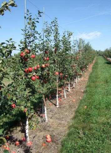 Jaką odmianę jabłoni wybrać?