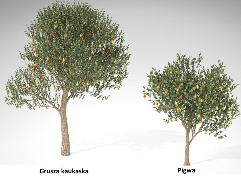 Grusza Kaukaska - Pigwa