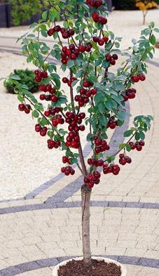 Podkładki karłowe wiśni, czereśni i śliwek