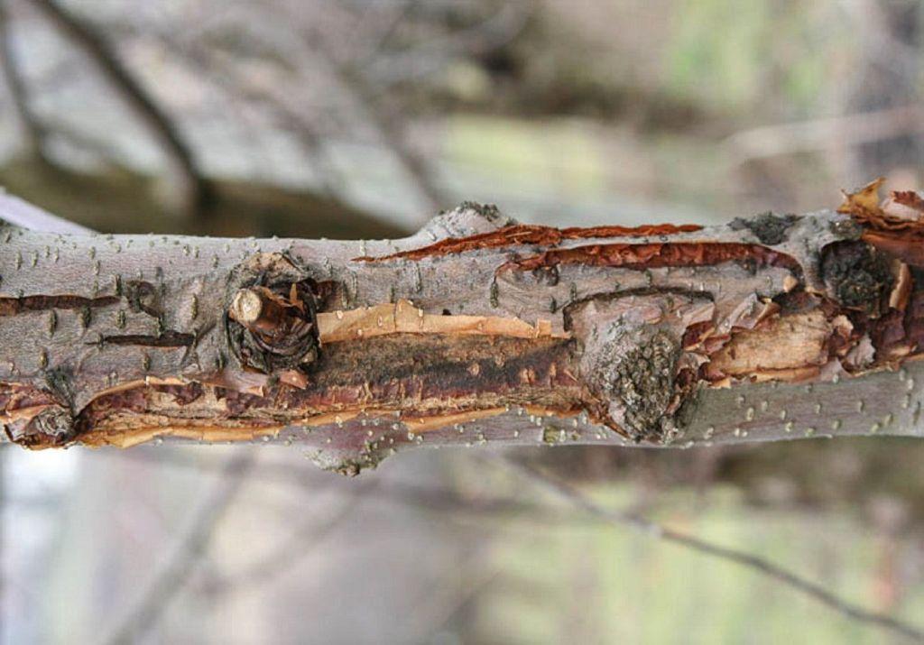 Rak bakteryjny drzew owocowych
