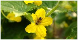 Kwiaty miododajne w warzywniaku