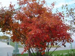 Świdośliwa kanadyjska - jesienna szata