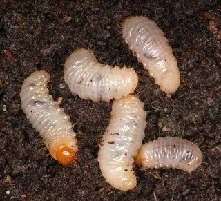 Opuchlak w ogrodzie - larwy