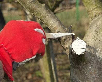 Przycinanie drzew owocowych - maść ogrodnicza