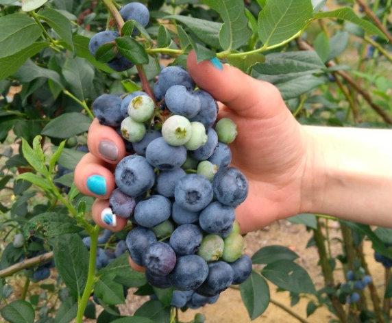 Uprawa borówki amerykańskiej Bluecrop