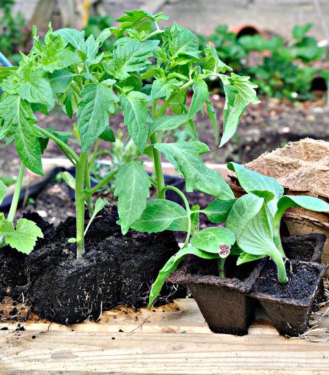 Rozsada warzyw gruntowych