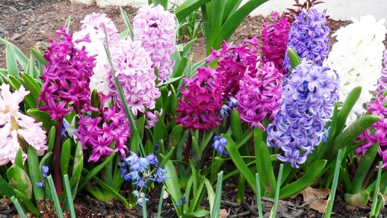Hiacynty - symbole wiosny