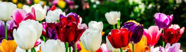 Tulipany - bogactwo odmian
