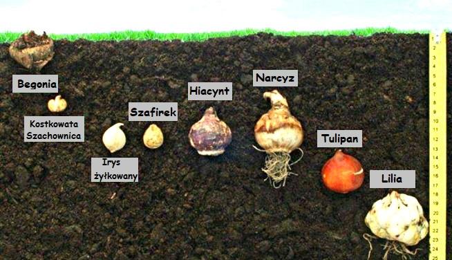 Znalezione obrazy dla zapytania: dzieci sadzą cebulę w domu