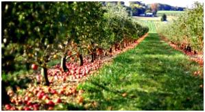 Usuwanie nadmiaru zawiązków owocowych z drzew