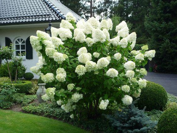 hortensja bukietowa biała
