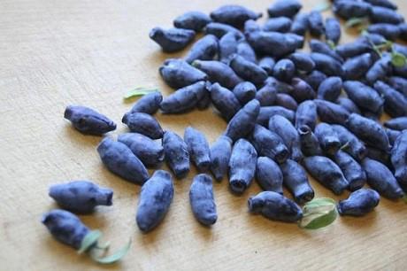 Sadzonki jagody kamczackiej - kiedy i jak sadzimy