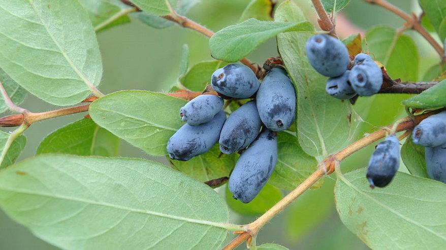 Odmiany jagody kamczackiej